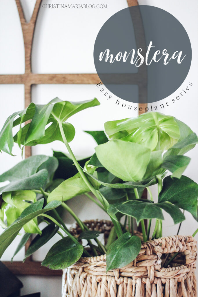 low maintenance house plant monstera