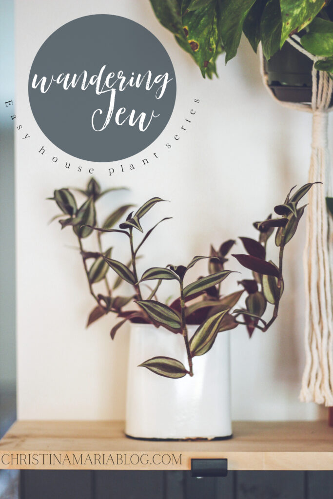 wandering Jew house plant