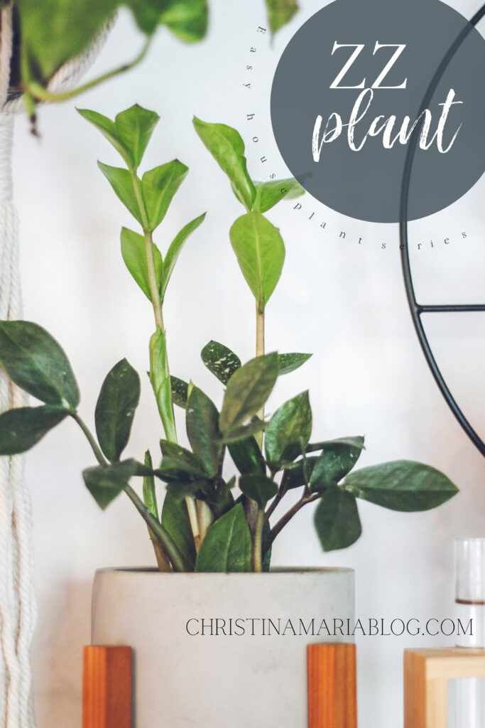 easy house plant ZZ plant