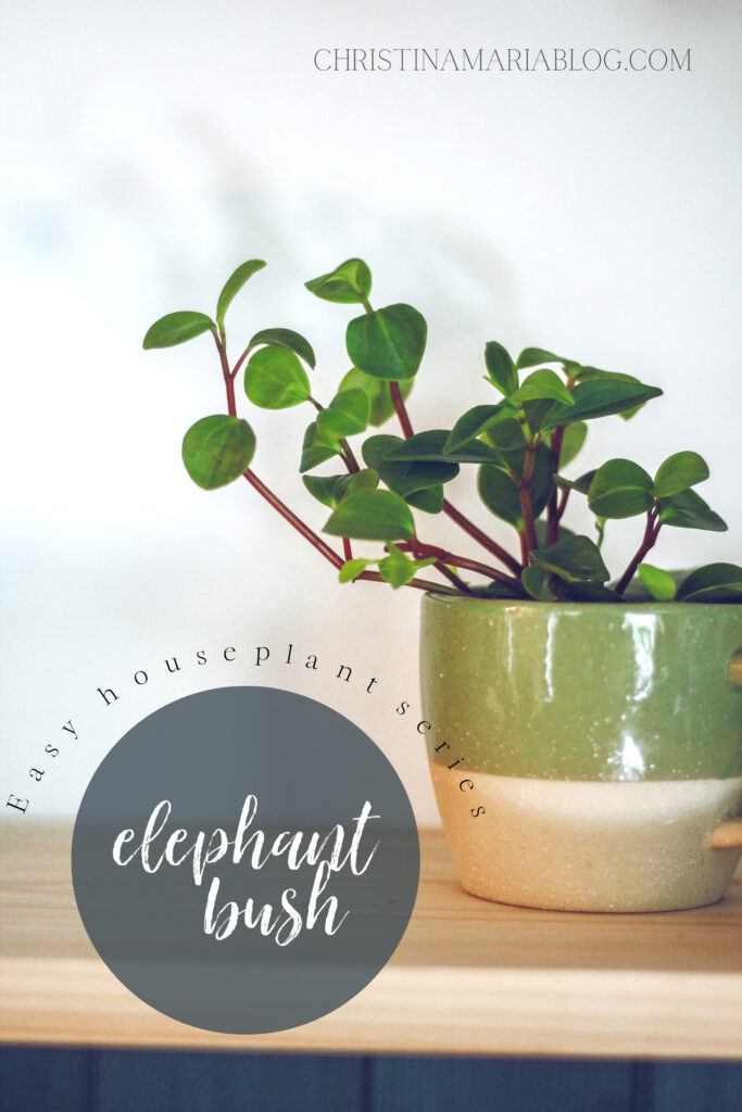 elephant bush indoor houseplant