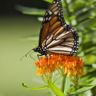 How to help Monarchs